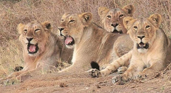 21 Lion deaths in 18 days at Gir, forest department confirms