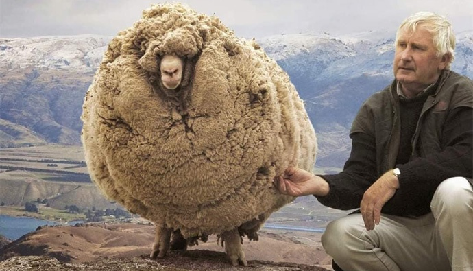 sheep on the run for five years, grows 60 pounds of wool