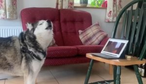 Two dog BFFs talk on video call during lockdown. Internet goes aww over trending clip
