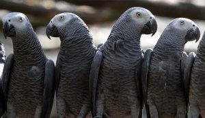 Parrots bad words of their mouths