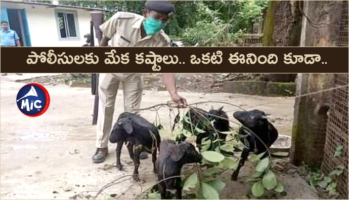 Goat delivery in police station.
