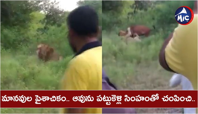 Gir forest people take video of lion and cow