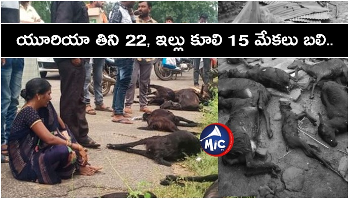 Eat urea and no more 22 goats and 15 goats incident house collapsed.jp