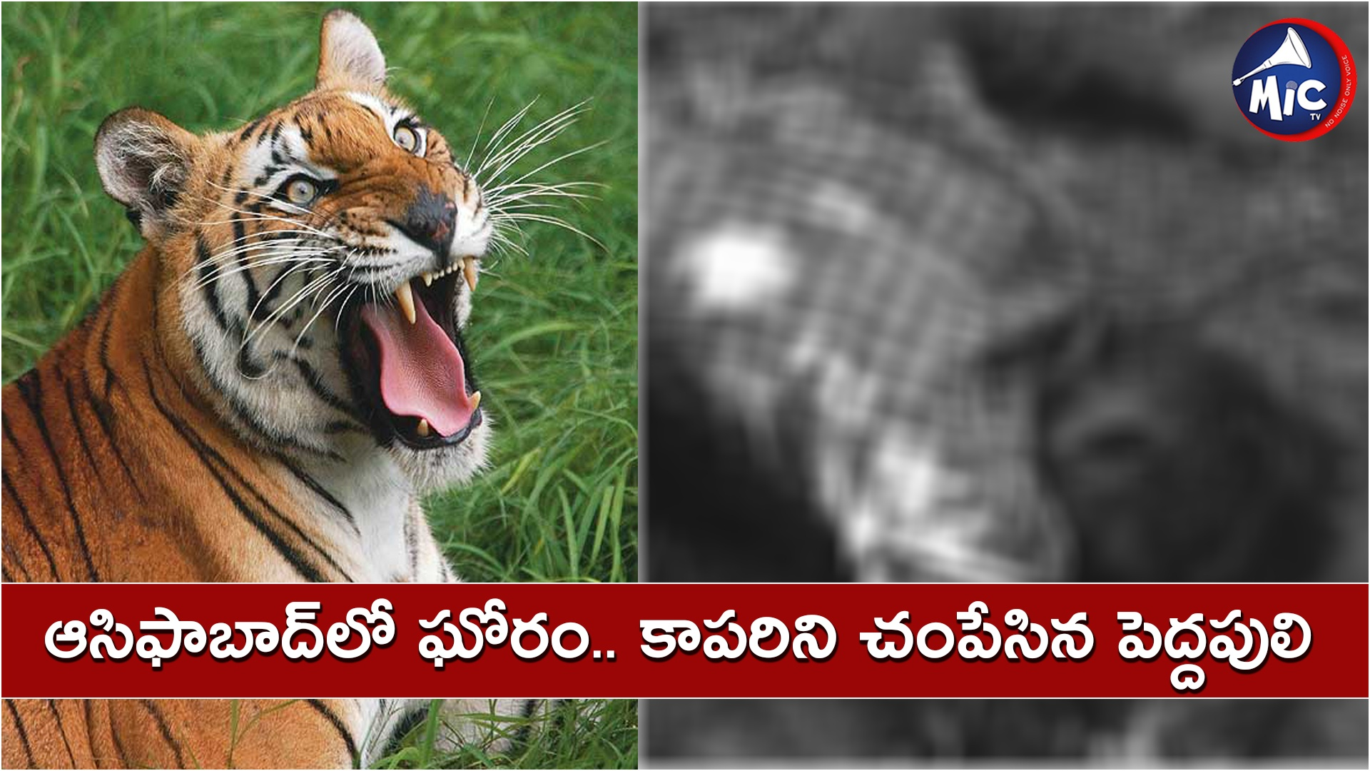 Tiger attack in Asifabad district