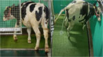 Climate Researchers Potty Train Peeing Cows